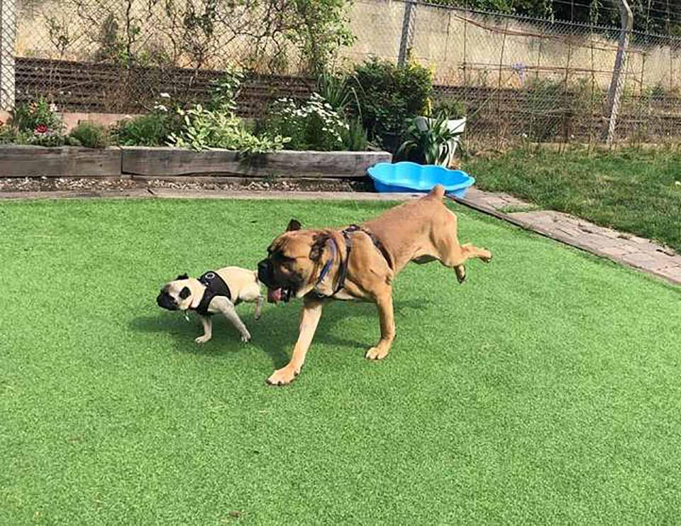 Perritos corren en el patio