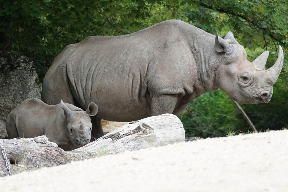 Rinoceronte adulto y pequeño