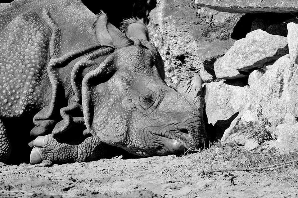 Rinoceronte en el suelo
