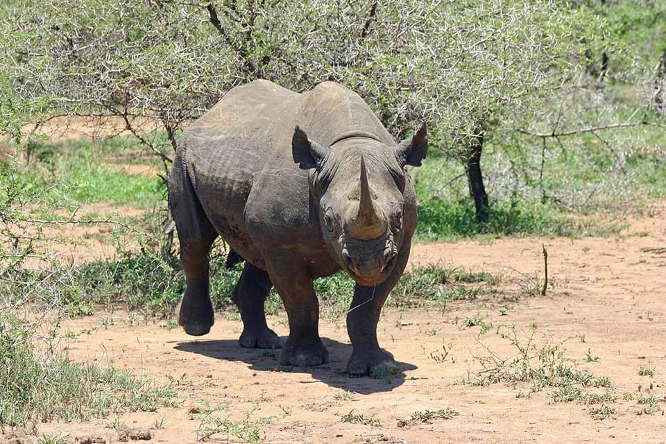 Rinoceronte negro al aire libre