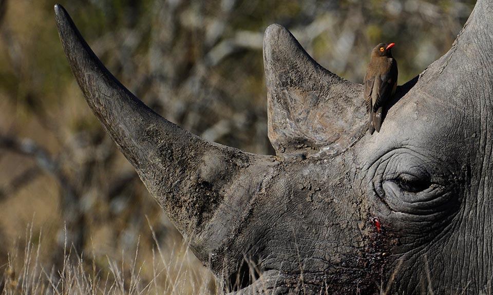 Rinoceronte negro y pájaro