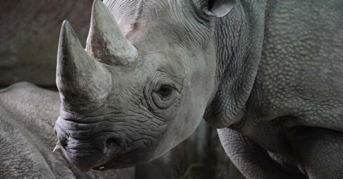 Sudáfrica obtiene permiso para aumentar la caza de rinocerontes negros