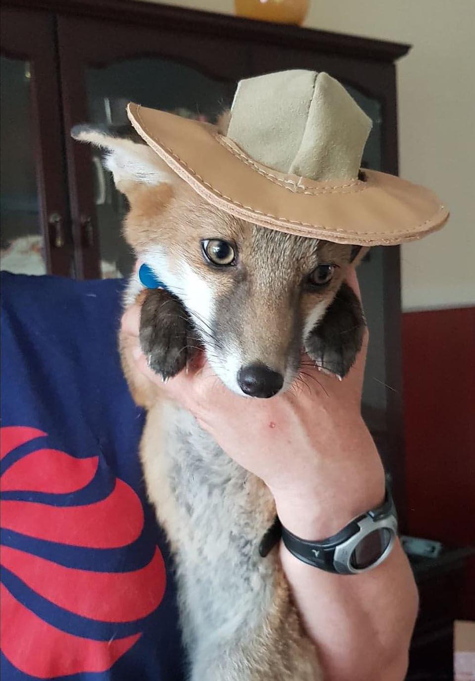 Zorra con sombrero