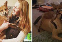 Zorrita rescatada y un labrador son los mejores amigos