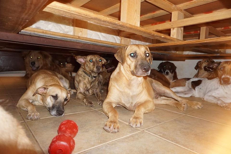 97 perros rescatados