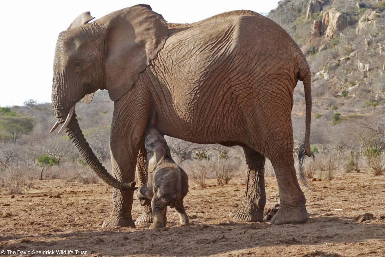 Bebé elefante comiendo