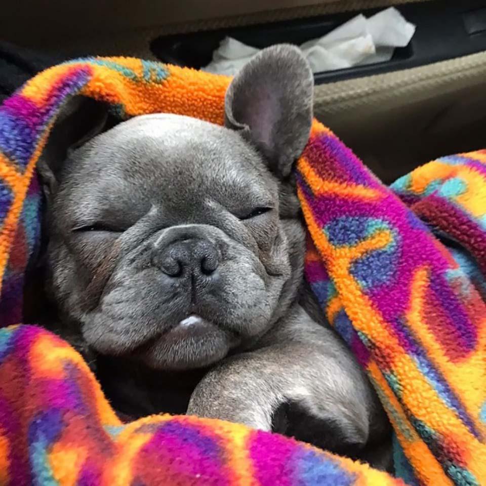 Cachorro duerme con su cobija