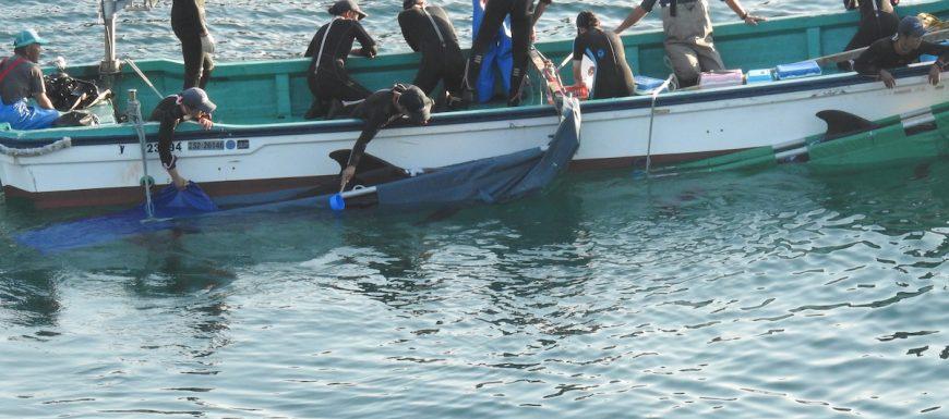 Delfines cazados