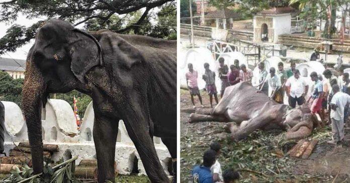 Elefanta demacrada muere tras permanecer durante años como esclava