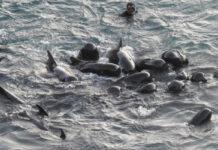 Grupo de delfines se consuelan antes de ser cazados