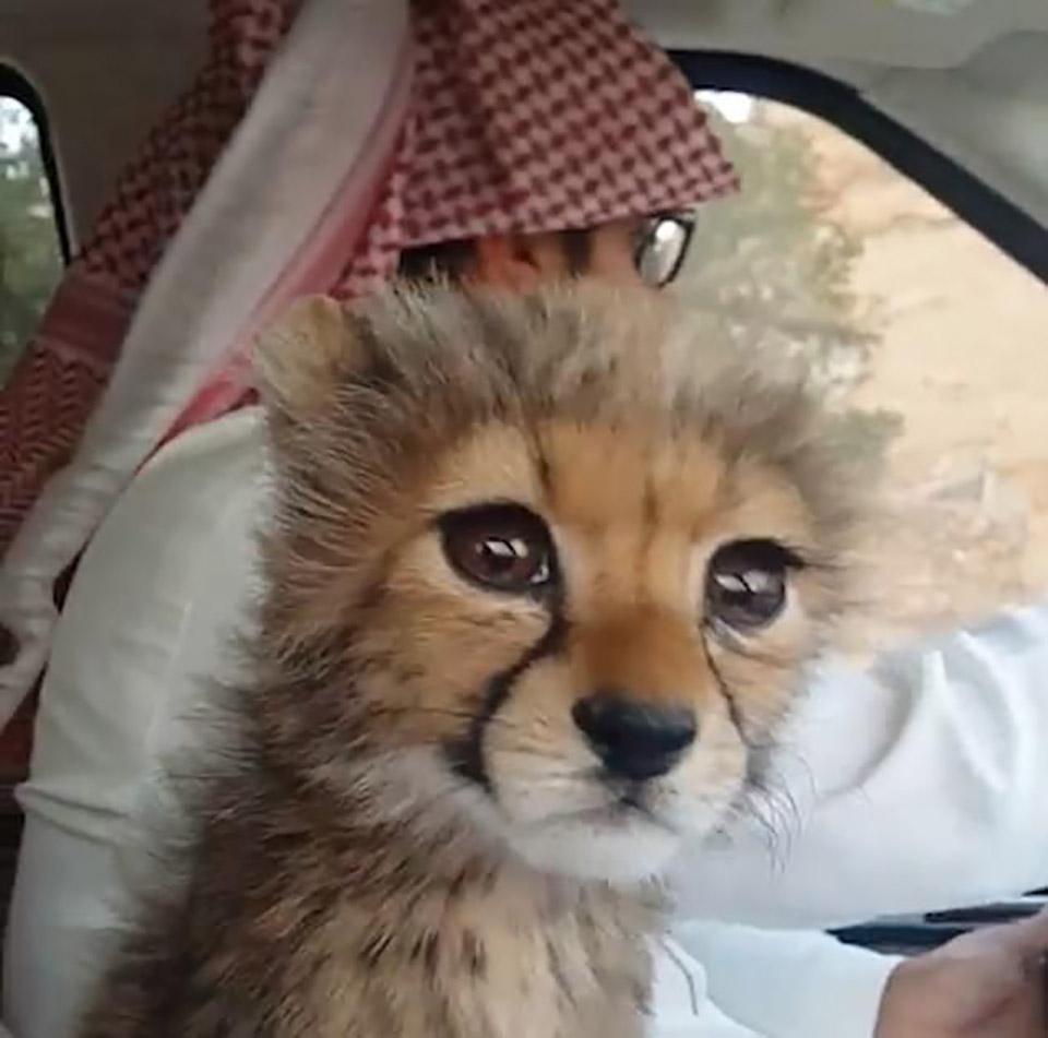 Guepardo en auto