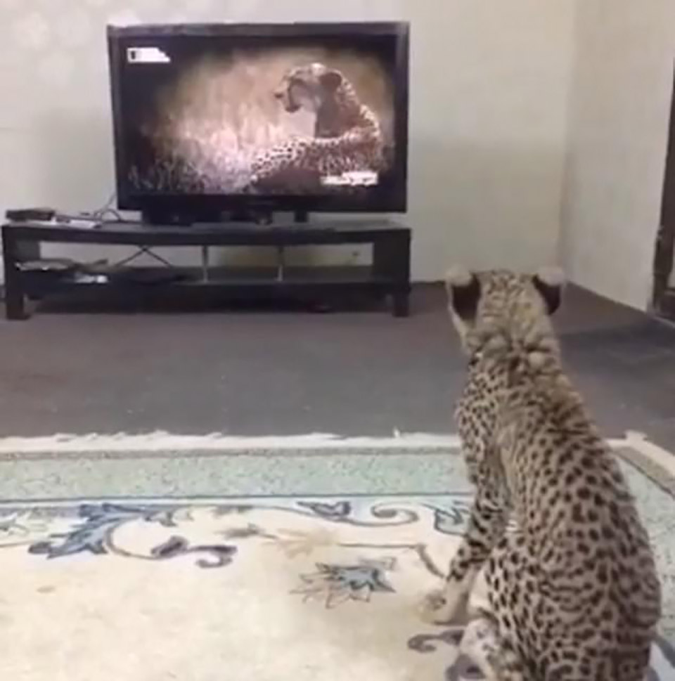 Guepardo viendo televisión