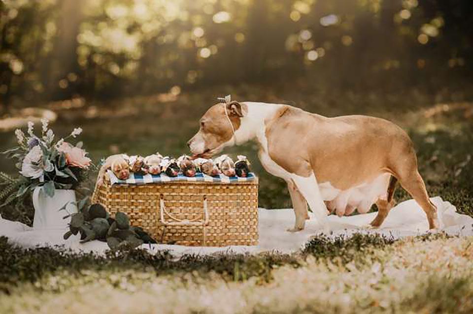 Madre pitbull posa con sus cachorros