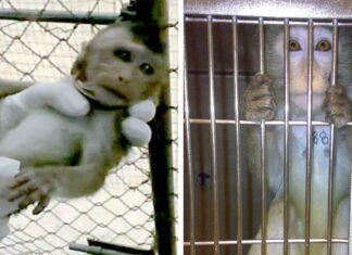 Mono bebé tembloroso lo retiran de sus padres para usarlo en laboratorio