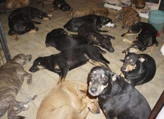 Mujer rescata a 97 perros en el huracán y los lleva a casa