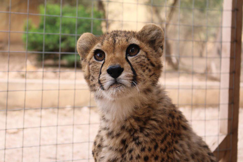 Pequeño guepardo