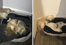 Perro deja espacio para dormir en su cojín a su mejor amigo fallecido
