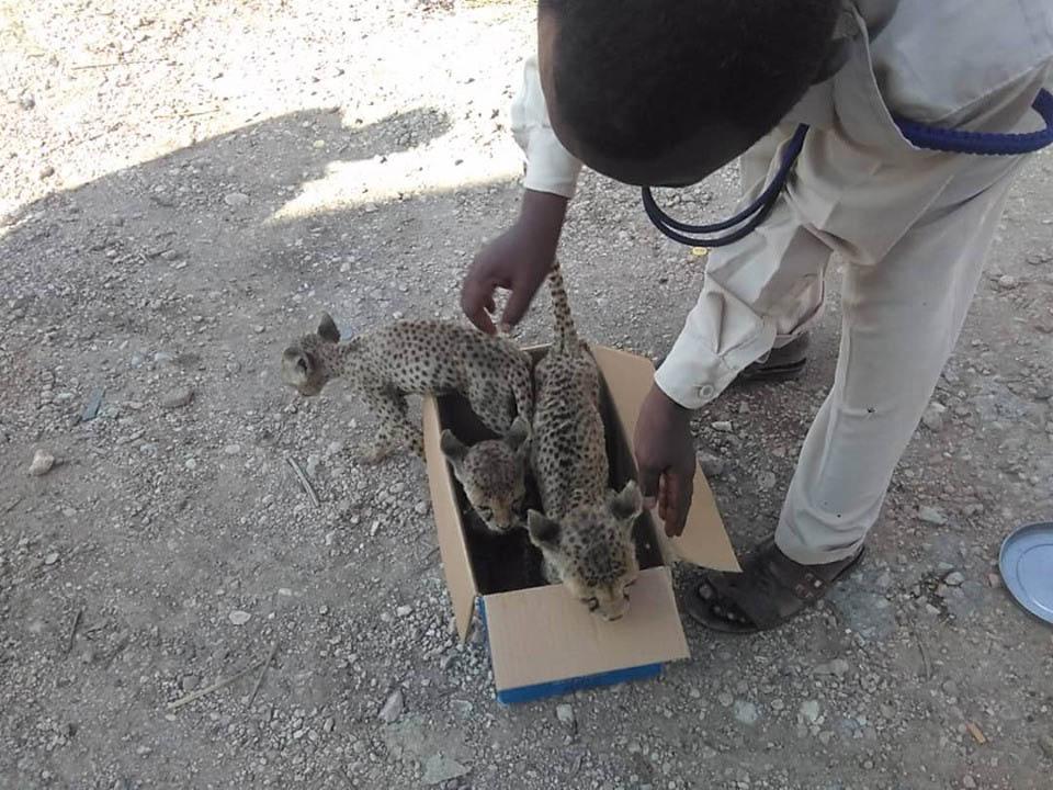 Rescate de guepardos