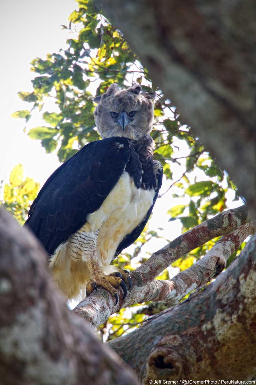 Águila harpía en un árbol
