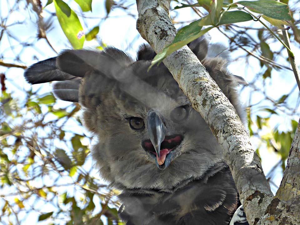 Águila harpía entre las ramas