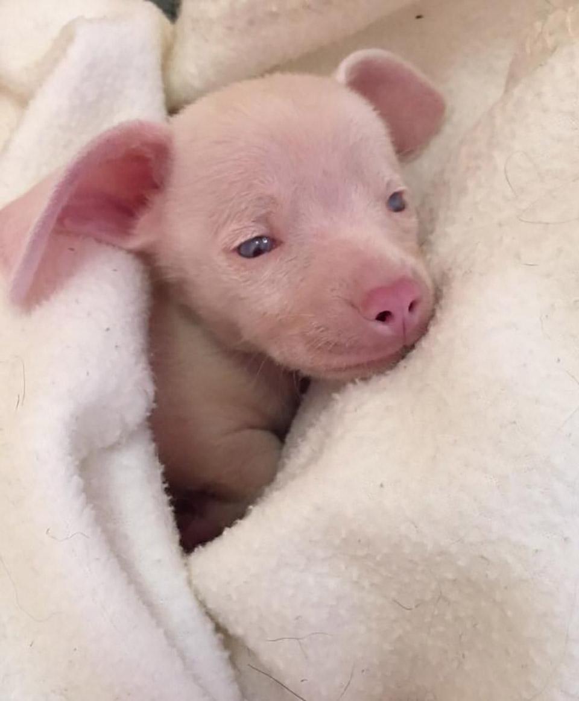 Cachorro rosado