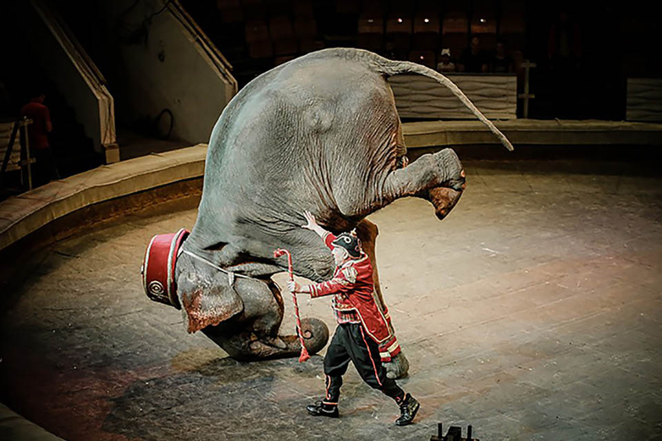 Elefante actúa en circo