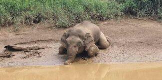 Elefante pigmeo fue encontrado muerto con 70 disparos y sin colmillos
