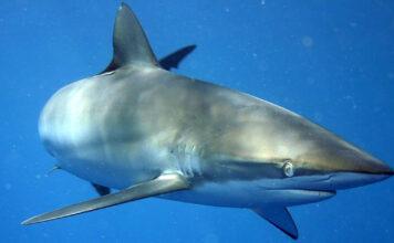 Gobierno colombiano autoriza la caza de tiburón y comercio de aletas