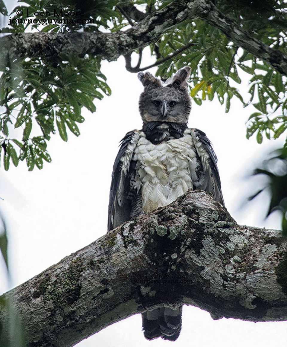 Harpía en rama de un árbol