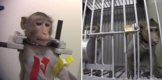 Imágenes de monos en un laboratorio muestran su terrible sufrimiento