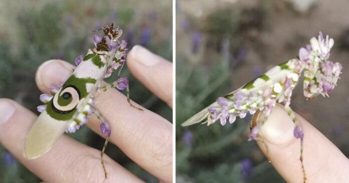 La mantis floral, un insecto muy hermoso para ser real