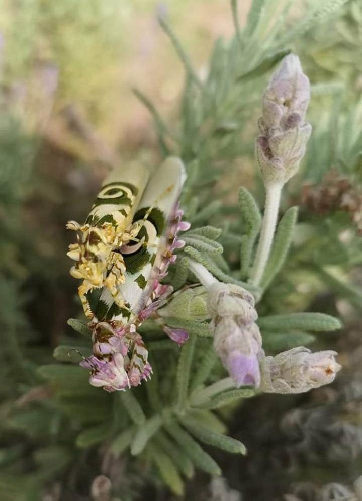 Mantis de flores espinosas