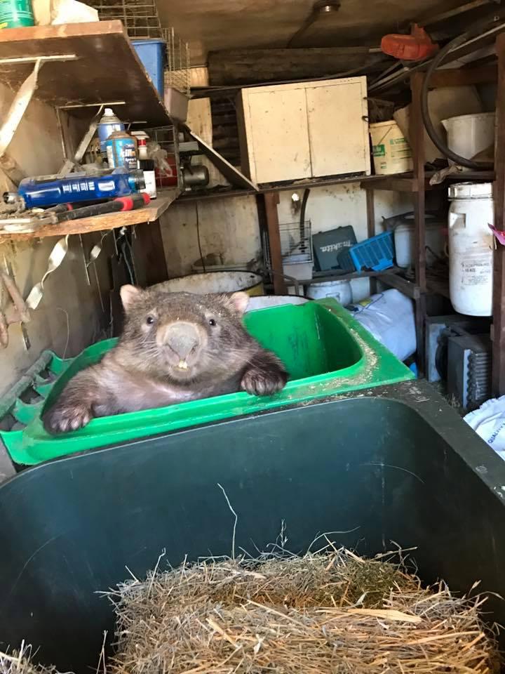 Mr Magoo el Wombat