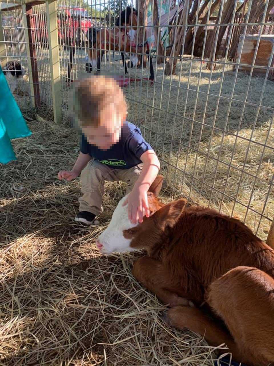 Niño alimentando a la ternera