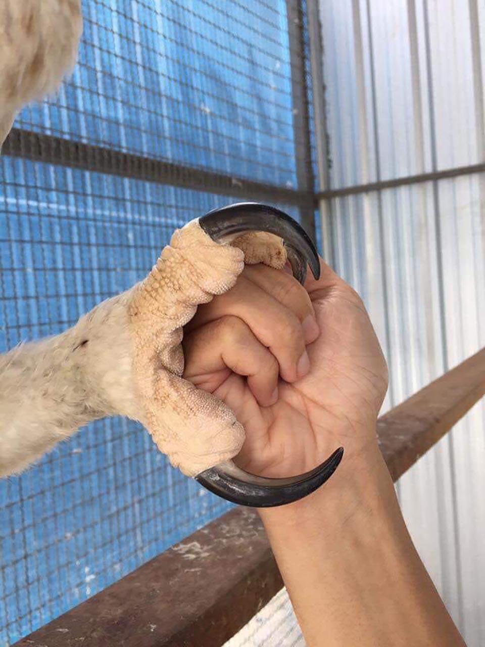 Patita de águila harpía