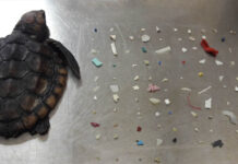 Pequeña tortuga muere con 104 piezas de plástico en sus intestinos