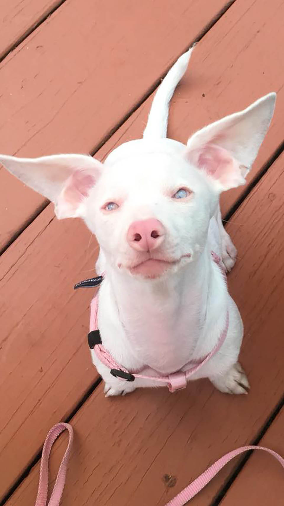 Perrito rosa ciego