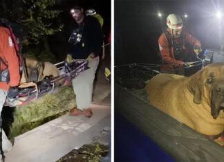 Perro enorme se cansa y es rescatado de una montaña