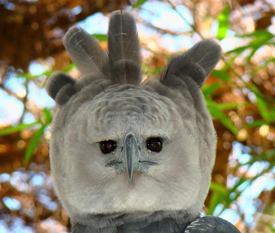 Rostro de águila harpía