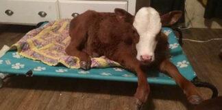 Ternera rescatada ama dormir en una cama para perros