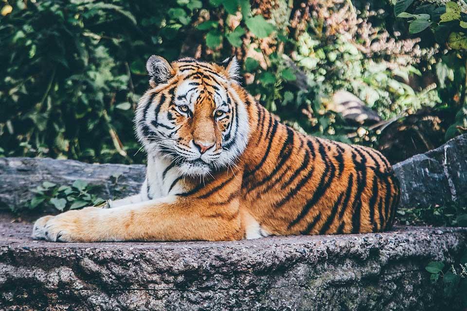 Tigre reposando