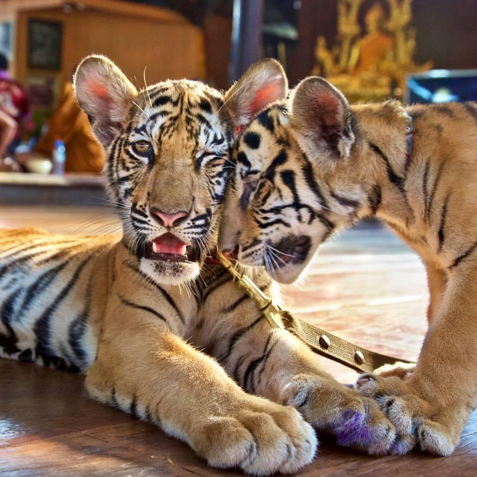 Tigres en el templo del tigre
