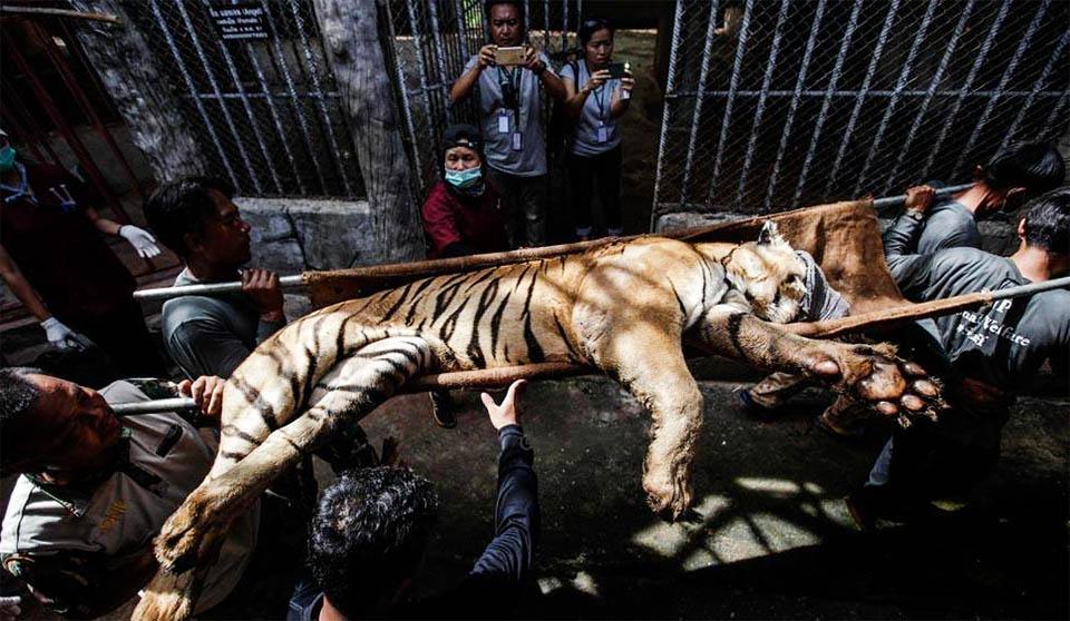 Tigres rescatados mueren bajo el cuidado del gobierno
