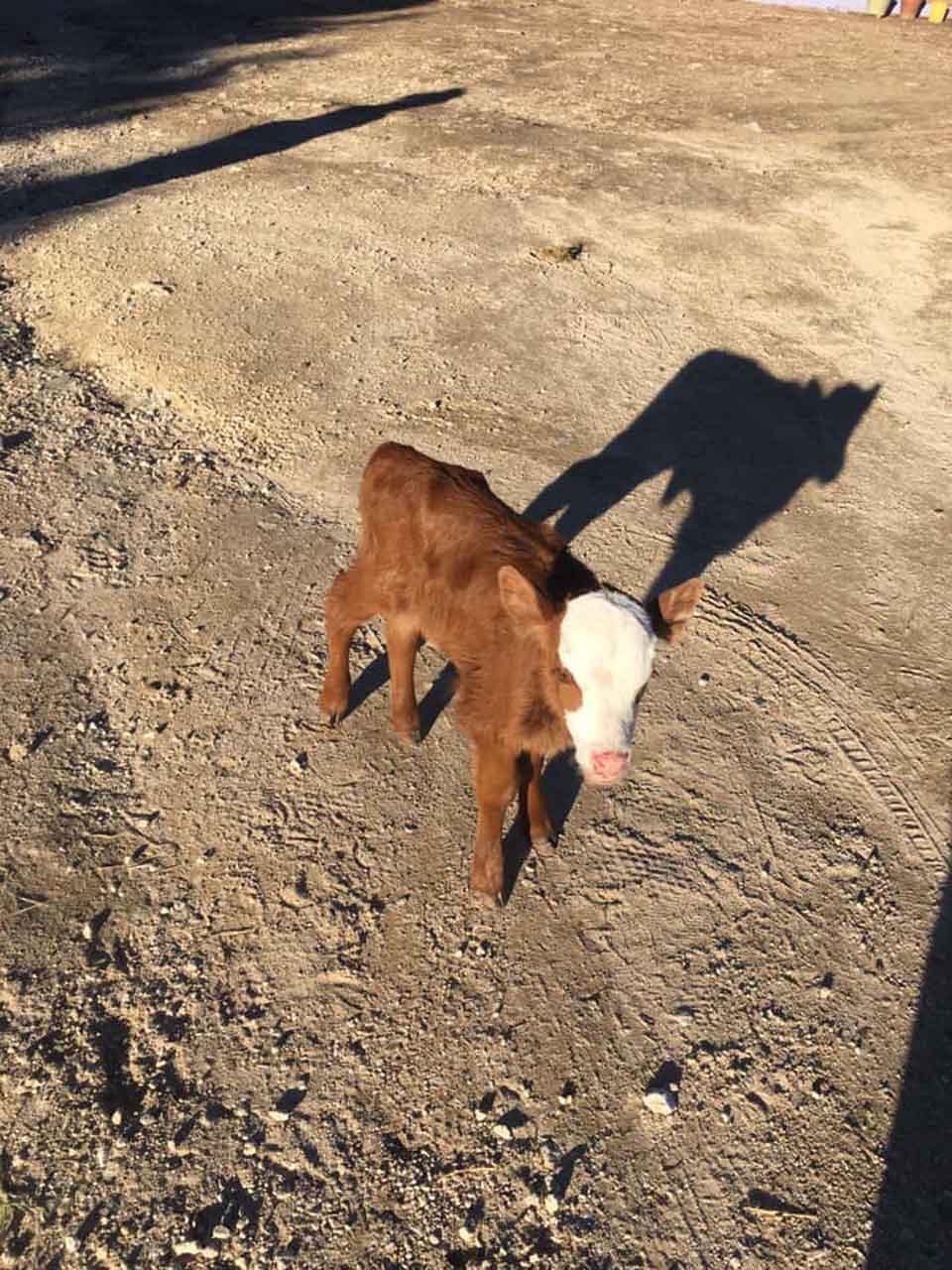 Vaca bebé