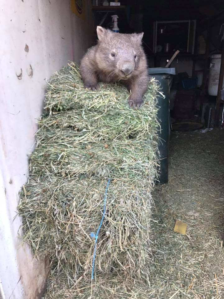 Wombat ladroncito