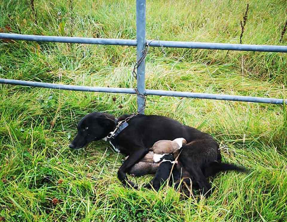 Perrita abandonada y encadenada con sus cachorros