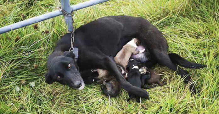 Perrita fue encontrada encadenada a una puerta con su seis cachorros