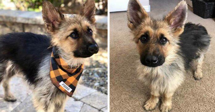Perrito de 2 años tiene enanismo su apariencia sera la de un cachorro