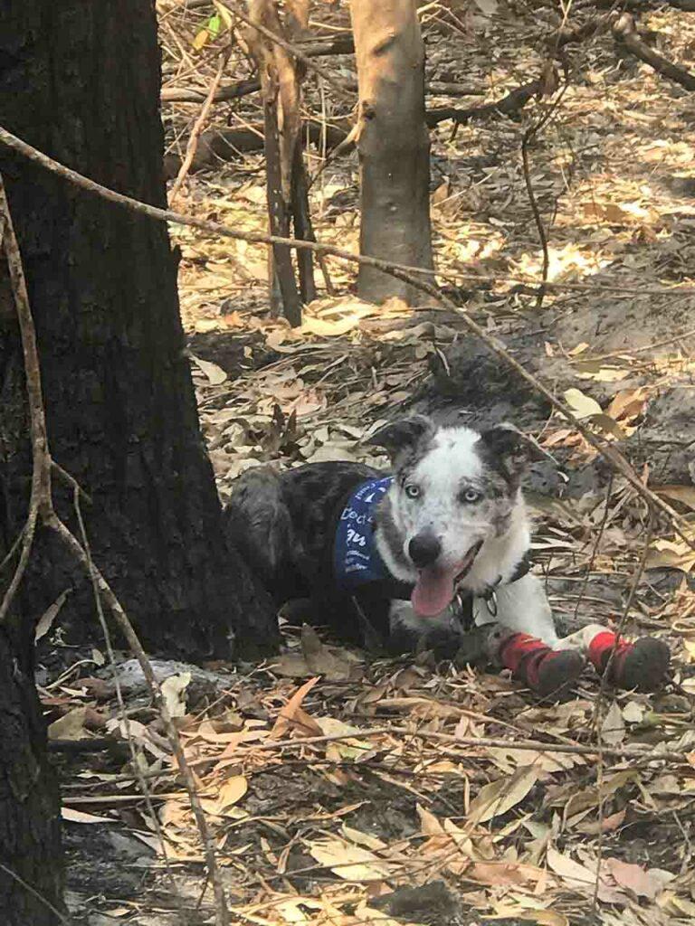 Perrito héroe en busca de koalas