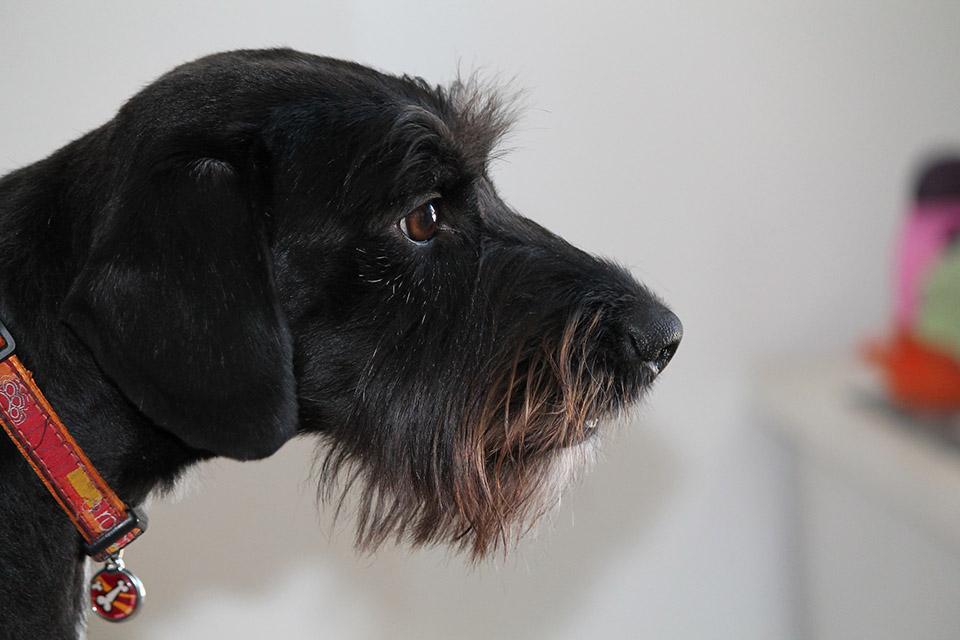 Perrito negro en hogar